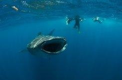 mauricio-handler-requin-baleine_10
