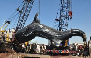 Requin baleine pêché au Pakistan