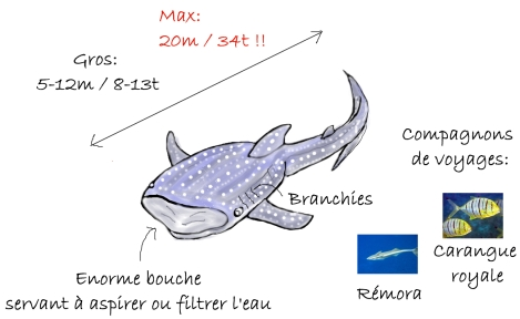 Illustration informative sur le requin baleine