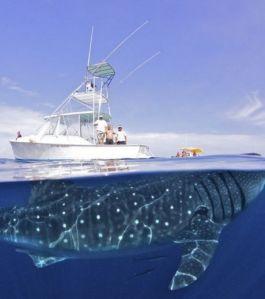 requin baleine et bateau