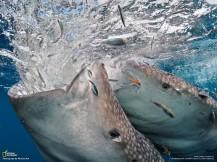 whale-sharks_sucion