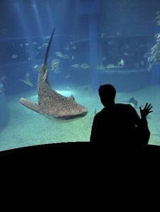 Requin baleine en aquarium