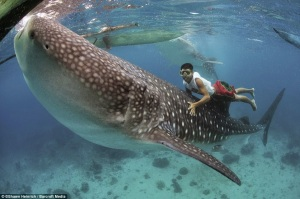 requin baleine touché