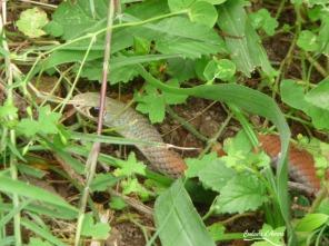 Yellow-faced whipsnake