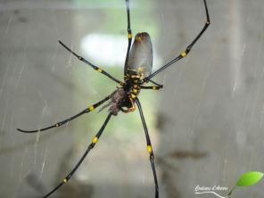 Grosse araignée Néphile
