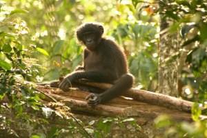 Zed, jeune bonobo