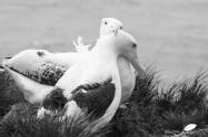 Retrouvailles de deux Grands albatros
