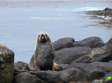 Otarie à fourrure antarctique (Arctocephalus gazella)