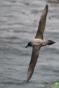 Albatros fuligineux (Phoebetria sp.)