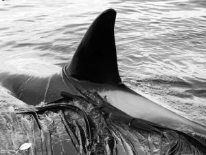 Nageoir dorsale d'orque
