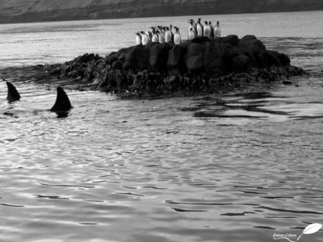 Des manchots sur un îlot entouré par un orque