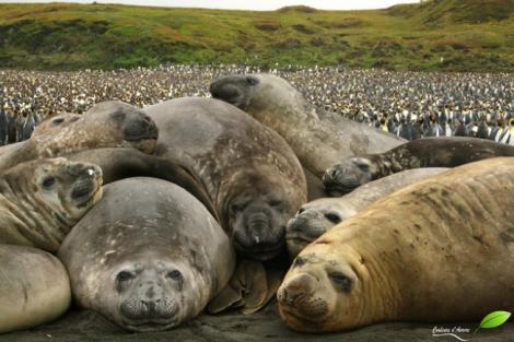Tas d'éléphants de mer devant une manchotière