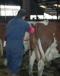 insémination artificielle d'un vache
