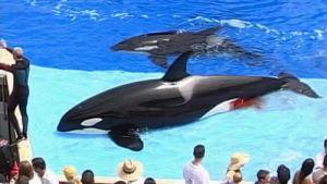 Une femelle orque saigne suite à une insémination artificielle