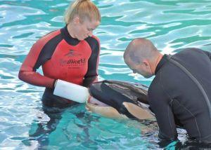 Quelle chance pour ces dresseurs qui ont pu nourrir un bébé orque rejeté par sa mère... Les joies de la captivité.