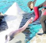Masturbation d'un orque pour récupérer le sperme