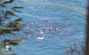 Capture dauphin albinos the cove