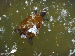 tortue d'eau douce dans la broken river (Eungella NP)