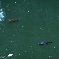 ornithorynque et tortue d'eau douce dans la broken river (eungella NP)