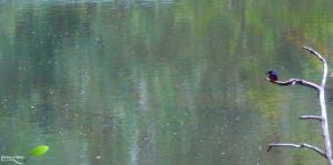 Martin pêcheur sur la broken river dans le parc national Eungella