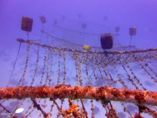 Nurserie de corail sur cordes horizontales