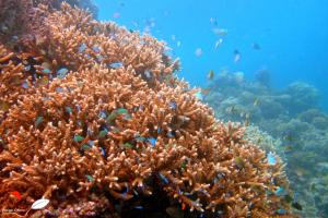 Corail (acropora) constituant des cachettes pour des poissons