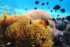 Anémone (polype unique) protégeant un poisson clown