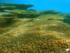 Table de corail (acropora)