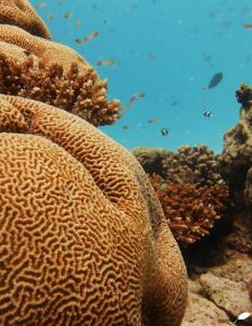 Récif corallien (cerveau de corail)