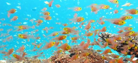 Larves de poissons habitant le récif corallien