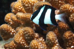 Polypes de corail et demoiselle