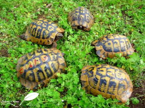 5 tortues d'hermann