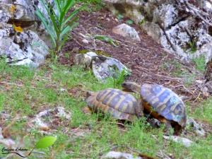 Deux tortues d'hermann mâles essayant de s'accoupler