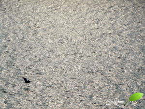 Vol d'un pélican sur le lac Prespa