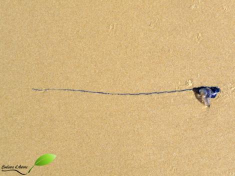 Méduse bleue échouée sur la plage à Byron Bay