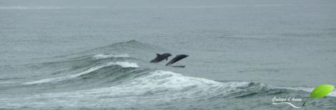 Les dauphins à Nambucca heads