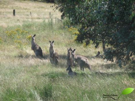 Groupe de kangourous