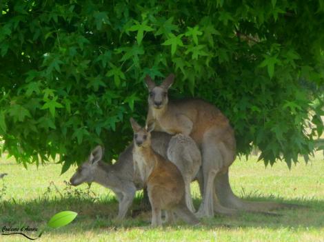 des kangourous copulant, avec un jeune à côté
