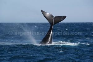Baleine,-Valdes
