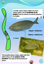 Sentier sous-marin sur herbier de posidonie: 6ème pancarte