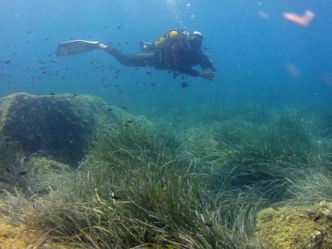 Herbier de posidonie en plongée