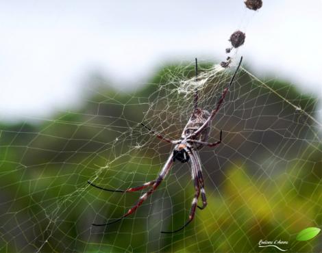 Araignée Néphile