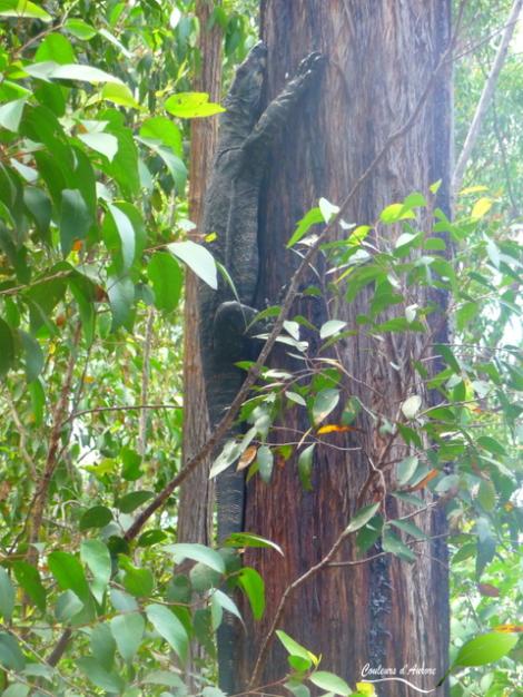 Gros varan dérangé au milieu de la route en allant dans le parc national Snowy River