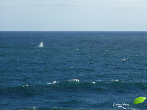 Baleine au large de Warrnambool