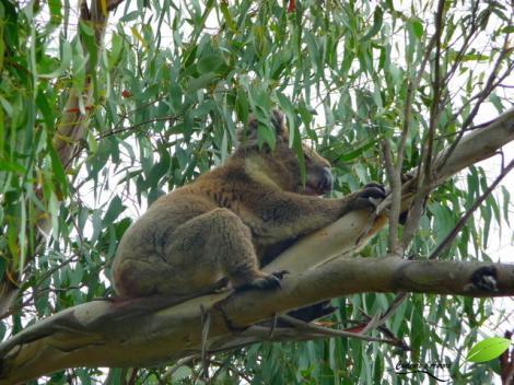 Koala à Mont Eccles