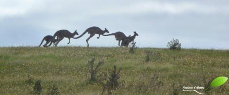 Kangourous à Cape bridgewater