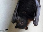 Ruffus, une chauve souris frugivore mâle (Flying fox)