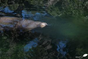 lamantin à blue spring park
