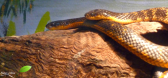 Serpents tigres (Tiger snake)