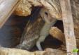 Chouette effraie (Eastern barn owl)